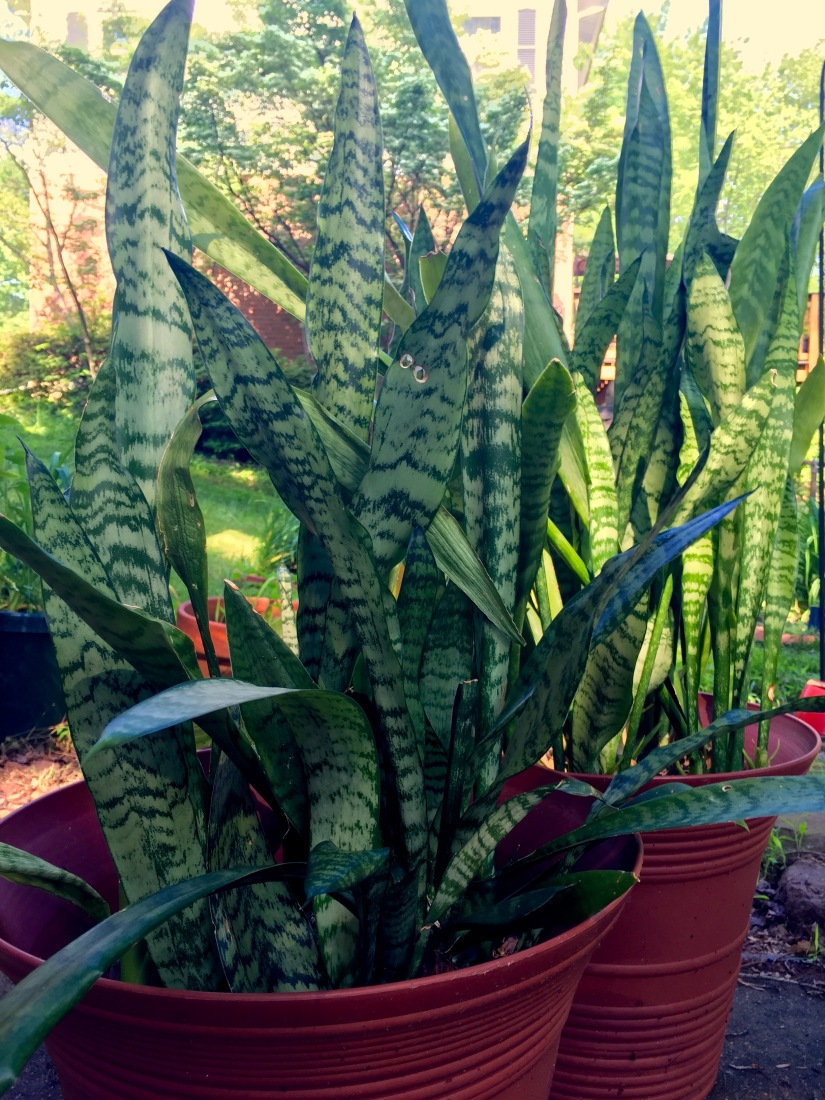 The Snake Plant… and a marriage